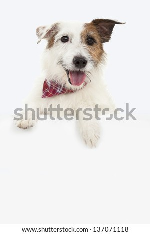 jack russel terrier dog with blank billboard - stock photo