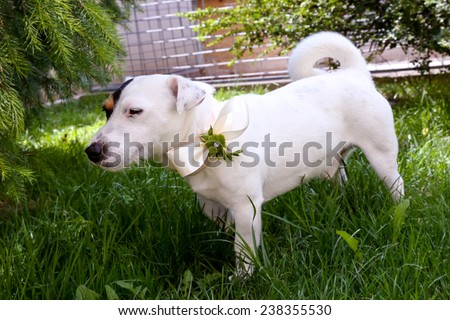 Jack Russel terrier dog with  bow-tie. - stock photo