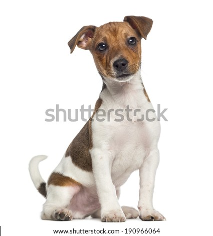 Jack Russell Terrier puppy sitting (3 months old) - stock photo