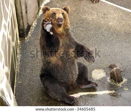 Japanese Brown bear. The Park of the bears in Japan,Hokkaido. - stock photo