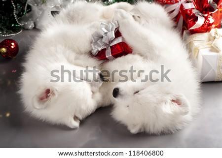 Japanese white spitz and New Year gift - stock photo
