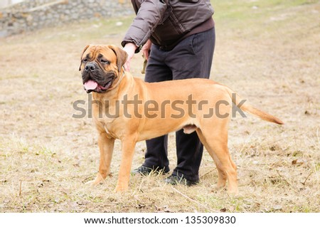 junior puppy bullmastiff stands with trainer outside in the park. dog  9 months age.