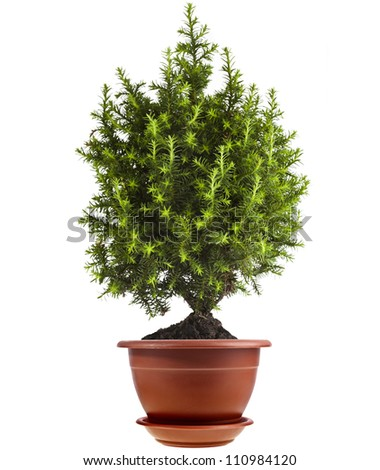 juniper Conifer Sapling Tree in the pot isolated on white. - stock photo