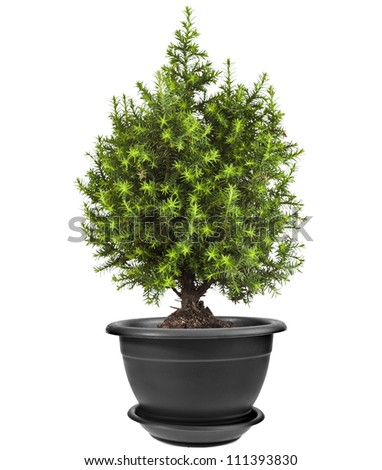 Juniper Conifer Sapling Tree in the pot isolated on white background