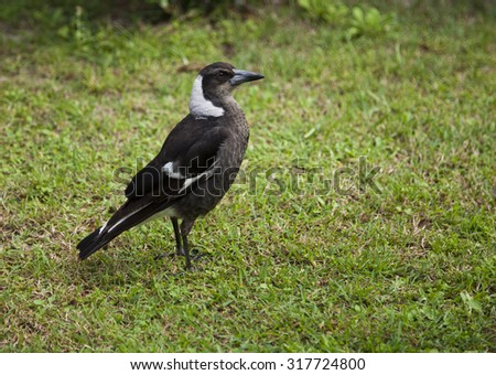 Juvenile Australian magpie looking for insects on a grass lawn - stock photo
