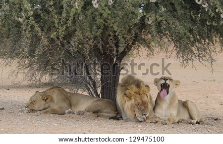 Kalahari lions (Panthera leo), resting in the shade of a camelthorn tree in the Kgalagadi transfrontier park,, KAMQUA, South Africa - stock photo