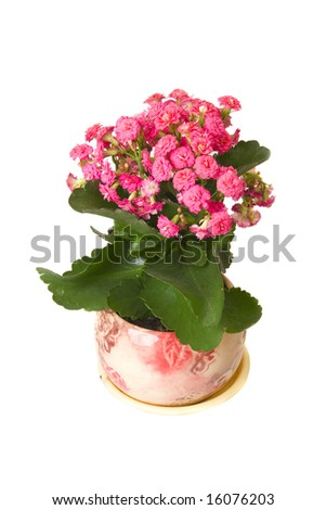 Kalanchoe flower in pot in white ground - stock photo