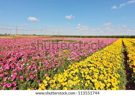 Kibbutz fields with bright flowers Ranunculus. Israeli spring. Flowers are grown for export - stock photo