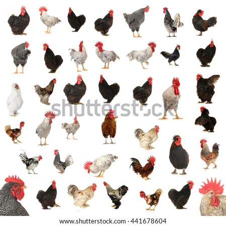 kind of the roosters isolated on a white background - stock photo