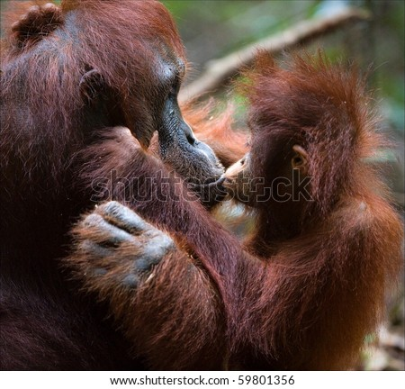 Kissing mum. The kid the orangutan gently kisses the mother. - stock photo