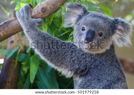 Koala bear on tree