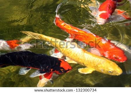 Koi pond stock images royalty free images vectors for Green koi fish