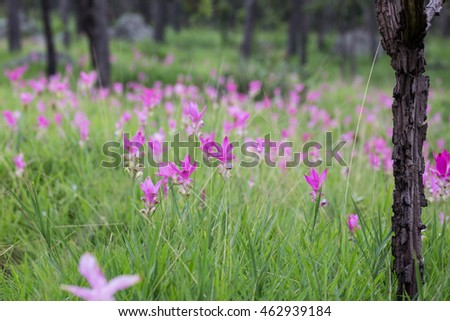 Krajeaw Flowers or Tulip of thailand at Pa Hin Ngam National Park, Chaiyaphum