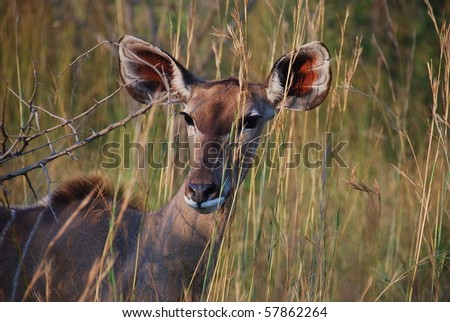 """Kudu"" female in ""krugerpark"" - stock photo"