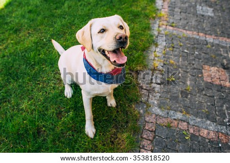 Labrador Dog standing in grass with his camouflage  - stock photo