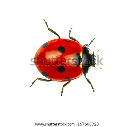 Ladybug isolated on white background - stock photo