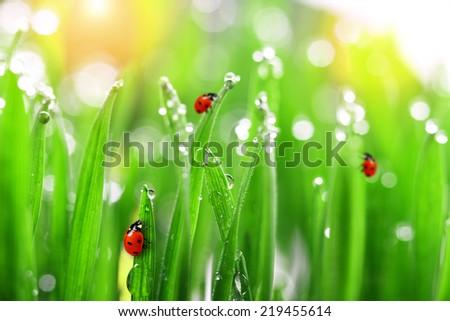 ladybug on fresh green grass  - stock photo