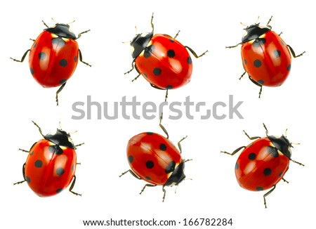 Ladybugs isolated on white background - stock photo