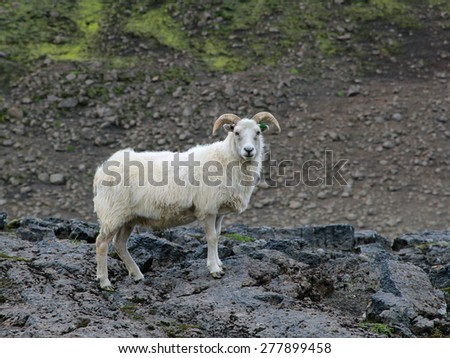 Lambs graze in the valley. Iceland. Summer season