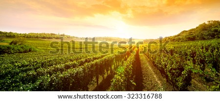 landscape of vineyard, nature background  - stock photo
