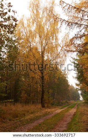 large birch tree with golden yellow leaves beside the forest road in autumn