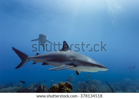 2 Large reef sharks, Carcharhinus amblyrhynchos, swimming above coral reef