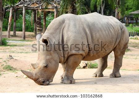 Large white (square-lipped) rhinoceros (Ceratotherium simum) - stock photo
