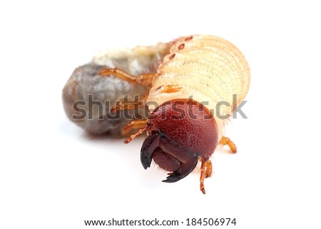 Larva of beetle isolated on white - stock photo
