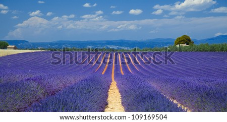 lavender fields of the French Provence near Valensole - stock photo