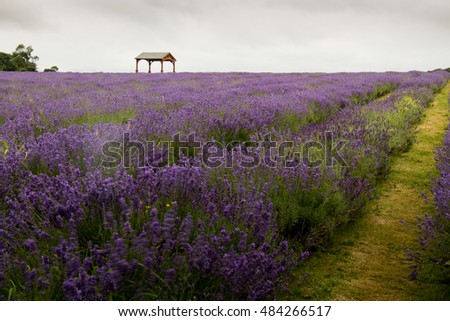 lavender fields, purple lavender flowers, Cloudy sky