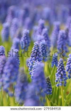 lavender flowers in lavender filed  - stock photo