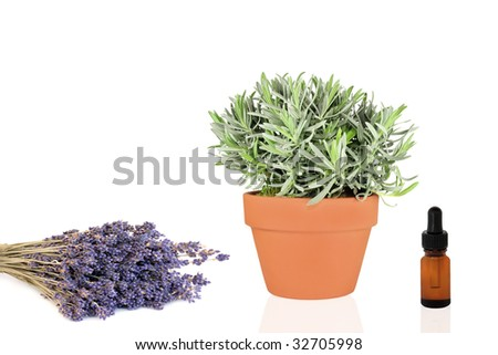 Lavender herb growing in a terracotta pot with dried flowers and aromatherapy essence dropper bottle, over white background.