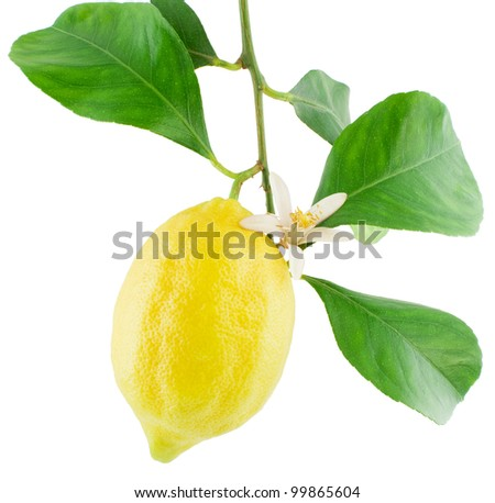 Lemon  on a branch with leaves and a flower Isolated on a white background - stock photo