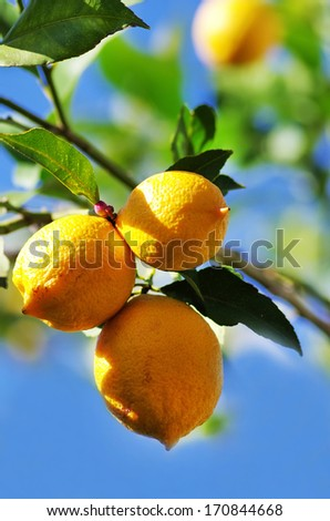 lemons on lemon tree in nature. fruit background  - stock photo