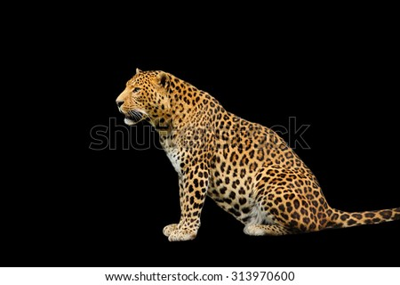 leopard on the black background - stock photo