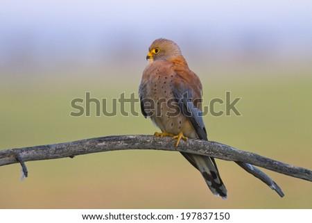 Lesser Kestrel Falco naumanni - stock photo