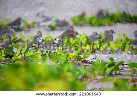 Lesser Sand Plover, focusing on birds. - stock photo