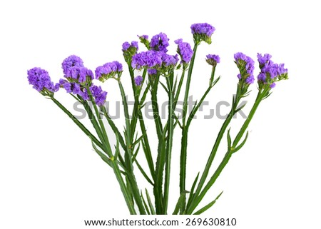 Limonium sinuatum Statice Salem flower isolated on white background - stock photo