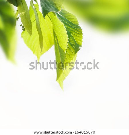 linden branch - stock photo