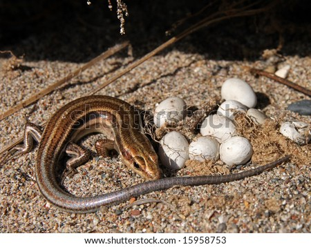 5-lined Skink with Eggs in Ontario, Canada - stock photo