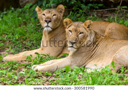 lion lying in the woods. - stock photo