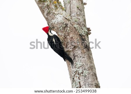 Lioncated woodpecker