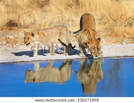 2 lions drinking from a waterhole in Ongava private reserve - Namibia - stock photo