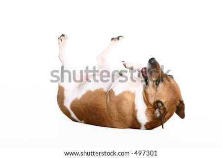 little dog on his back - stock photo