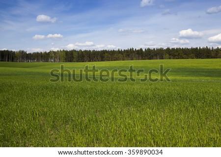 little green wheat plants in the spring season. blue sky - stock photo