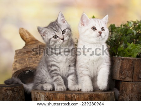 little kittens playing in garden together - stock photo