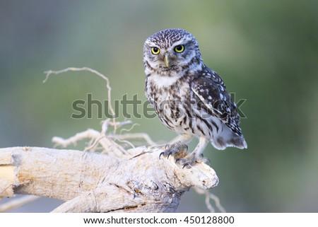 Little Owl  Athene noctua - stock photo