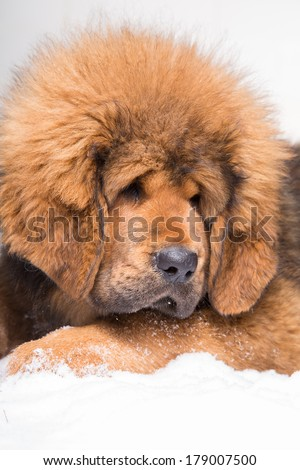 little security guard -  red puppy of Tibetan mastiff sitting on snow. Close up portrait - stock photo