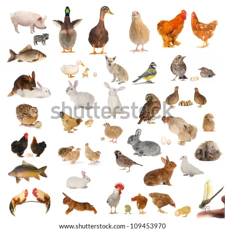 livestock isolated on white background