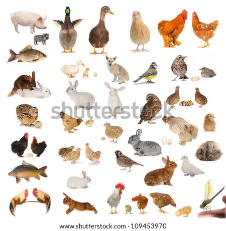 livestock isolated on white background - stock photo